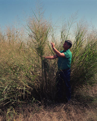 Panicum Virgatum (Switchgrass) Being Grown